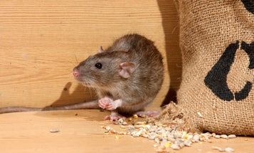 Rats have been in New York City since the 1700s and they're never leaving