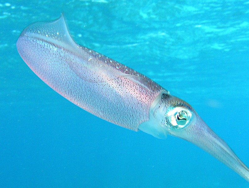 Squid Protein Could Help Brains 'Talk' to Computers