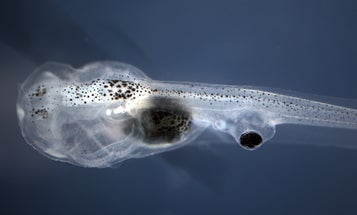 Blind tadpoles learn to see using eyeballs attached to their butts
