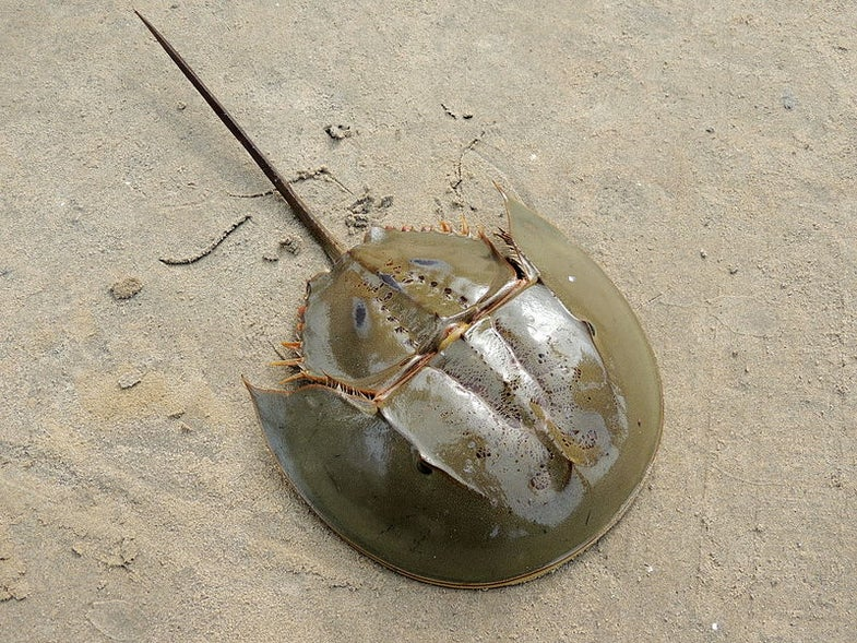 Hundreds Of Dead Horseshoe Crabs Are Washing Up In Japan