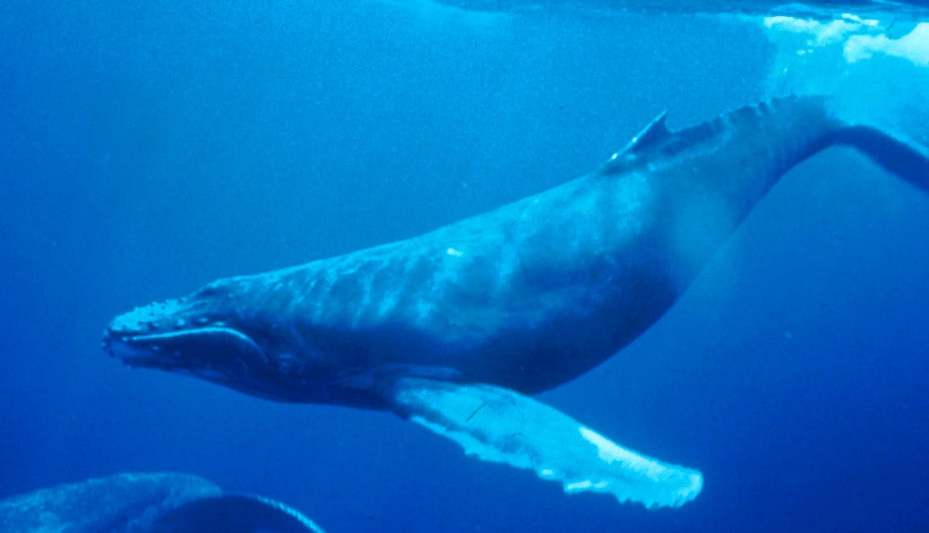 Protein From Whales Might Make Better Synthetic Blood