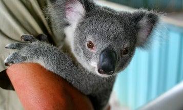 "Australia Reclassifies the Koala as a ""Vulnerable"" Species"