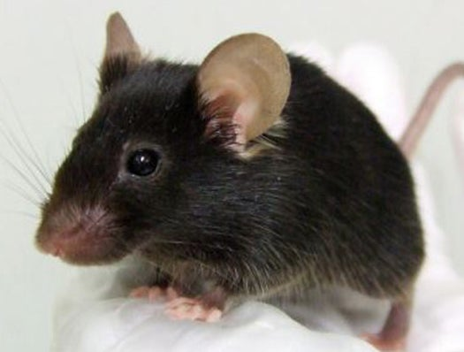 Japanese Create A Mutant Mouse That Tweets Like a Bird