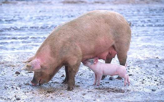 Potty-Training Pigs Cuts Runoff From Taiwanese Farms by 80 Percent