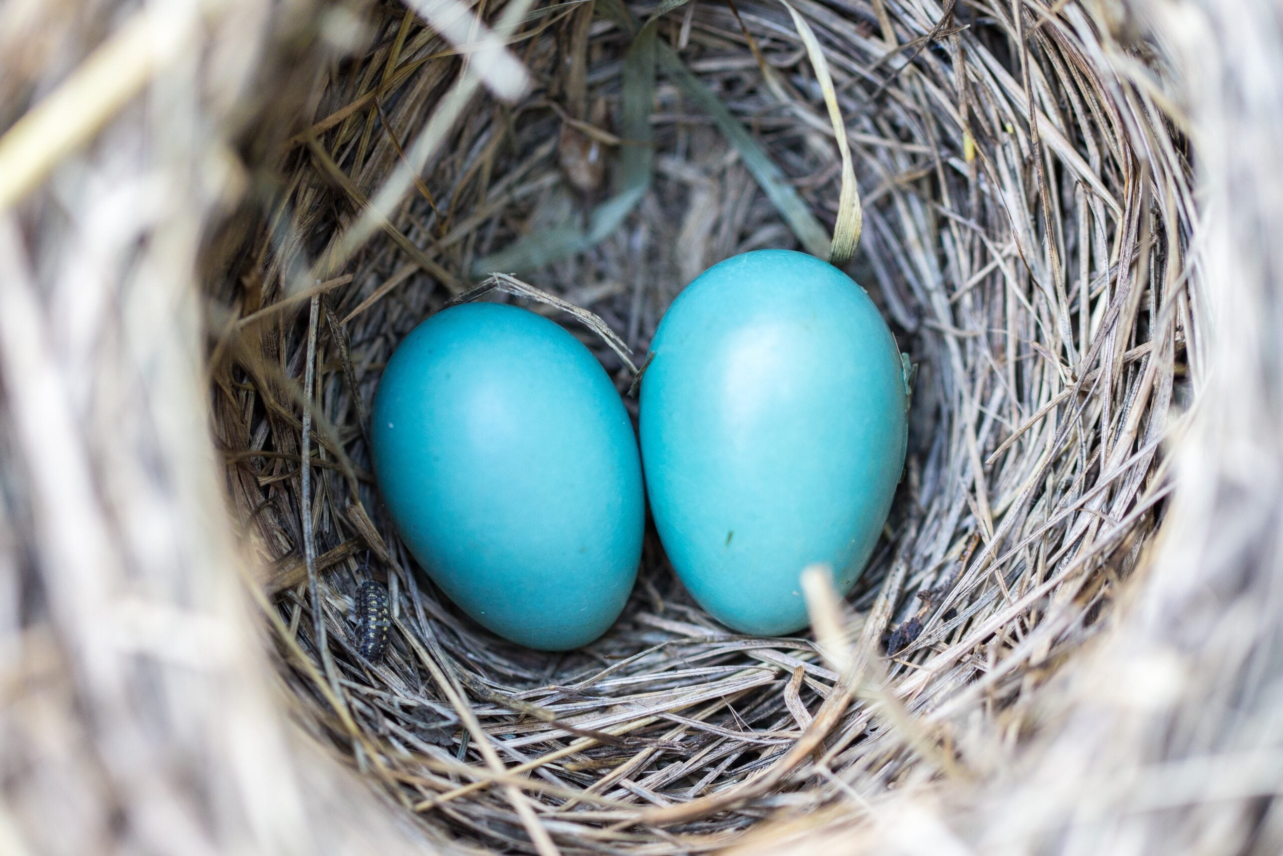 Birds' ability to fly could determine the shape of their eggs