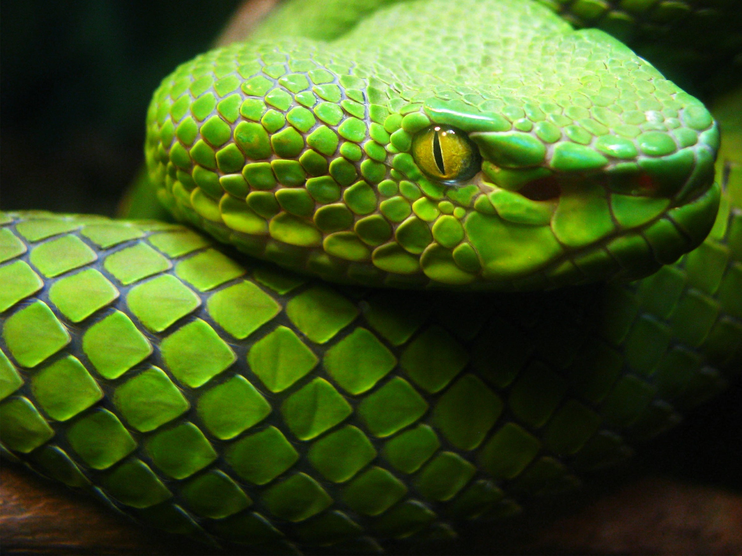 green snake with yellow eyes