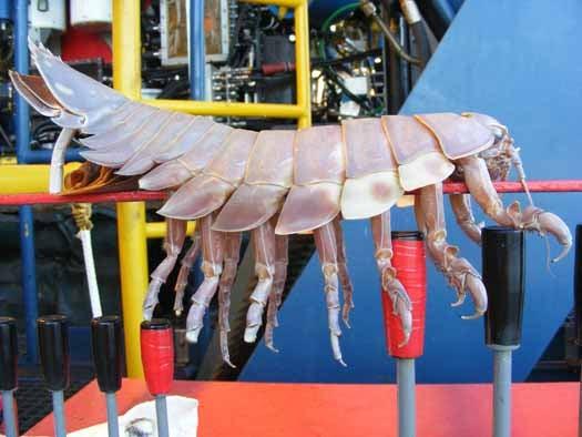 Yard-Long Undersea Bug Terrorizes Robo-Sub, Internet
