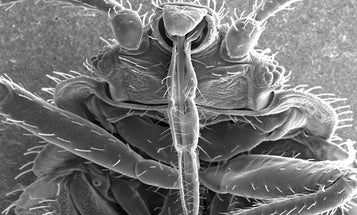 The Bugs Behind The Bed Bug Genome