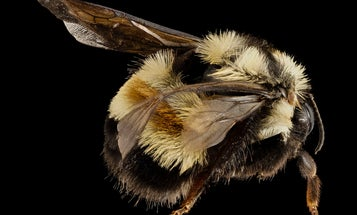The rusty patched bumblebee is probably doomed