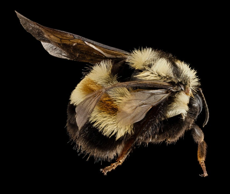 rusty-patched bumblebee