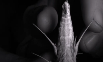 Tropical Moths Fight Bats With Blasts Of Ultrasound From Their Genitals