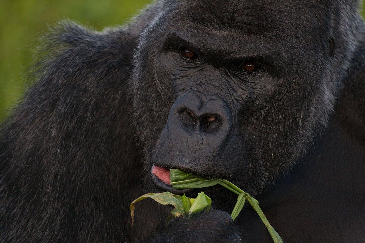 How Gorilla Poop Could Help Stop Ebola