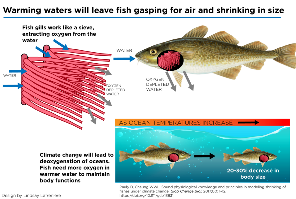 Warmer waters hold less oxygen, causing fish to shrink.