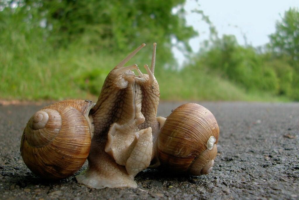 Land snails mating