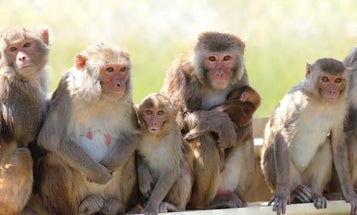 This male birth control worked for over a year (in monkeys)