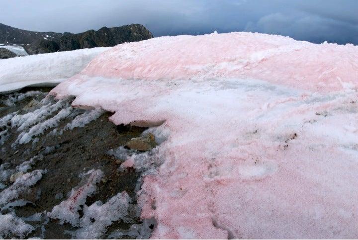 Snow Algae Is Melting Glaciers In the Arctic