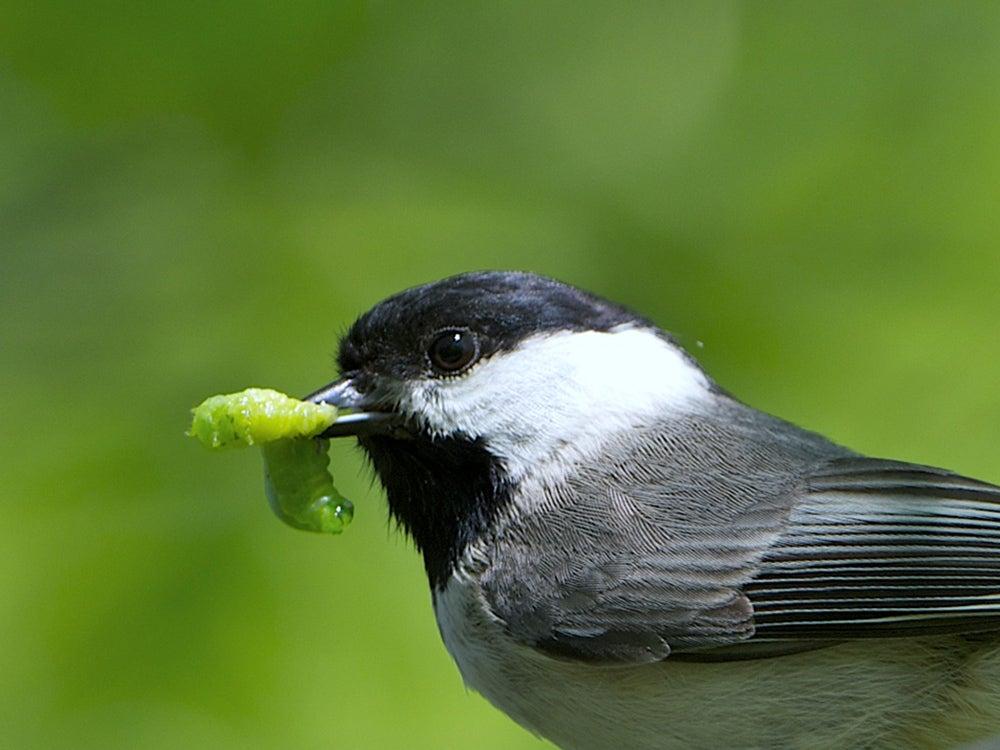 chickadee eating caterpillar
