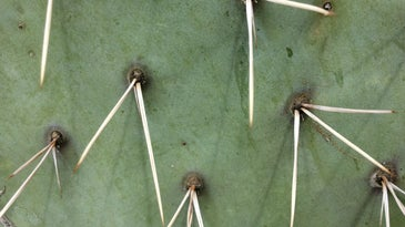 Prickly pear cactus spines