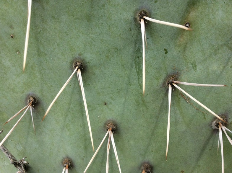How to remove cactus spines (including ones stuck in your throat)