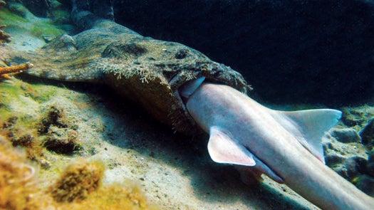 Megapixels: A Shark Eats a Shark