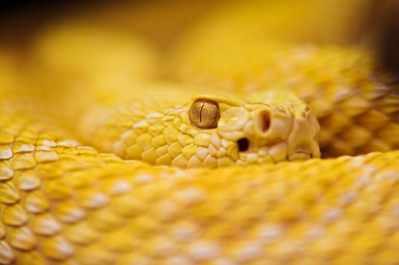 DNA Left In Snakebites Could Speed Treatment