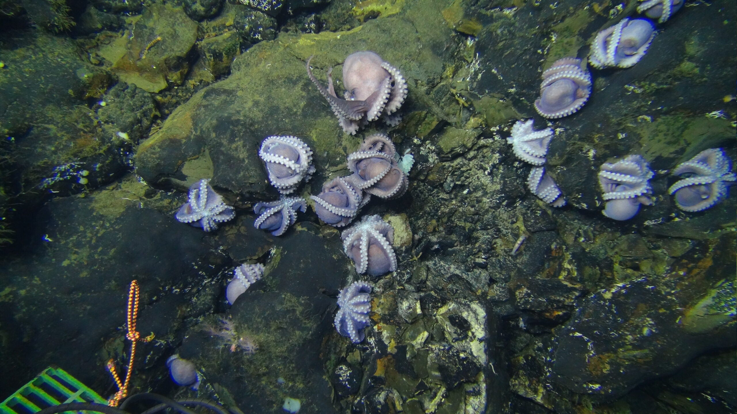 Octopuses on the outcrop