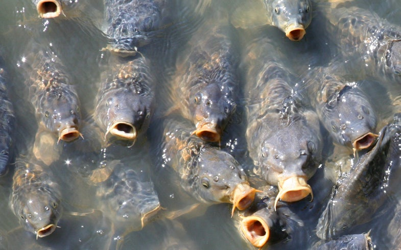 Cultivated Carp 'Reverse Evolve,' Grow Scales Back