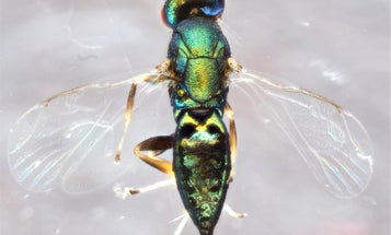 This parasitic wasp forces other parasitic wasps to do its dirty work, then eats them