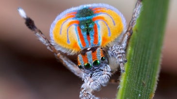 Male Peacock spider in nature