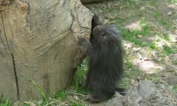 Meet The Bronx Zoo's New Porcupette