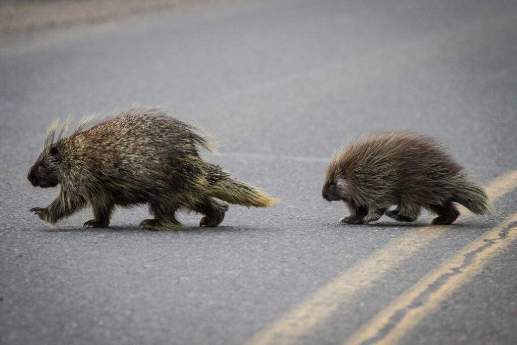 """Porcupines"""