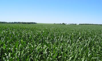 Pest In Brazil Has Evolved Resistance Against GMO Corn