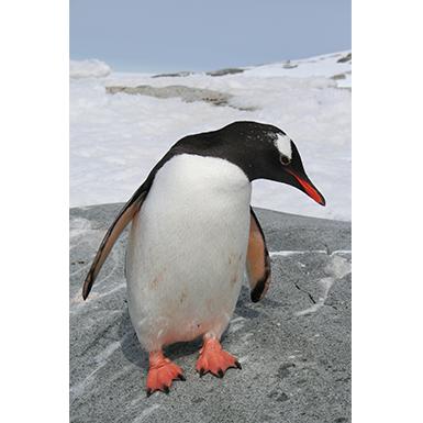"""Penguin"""