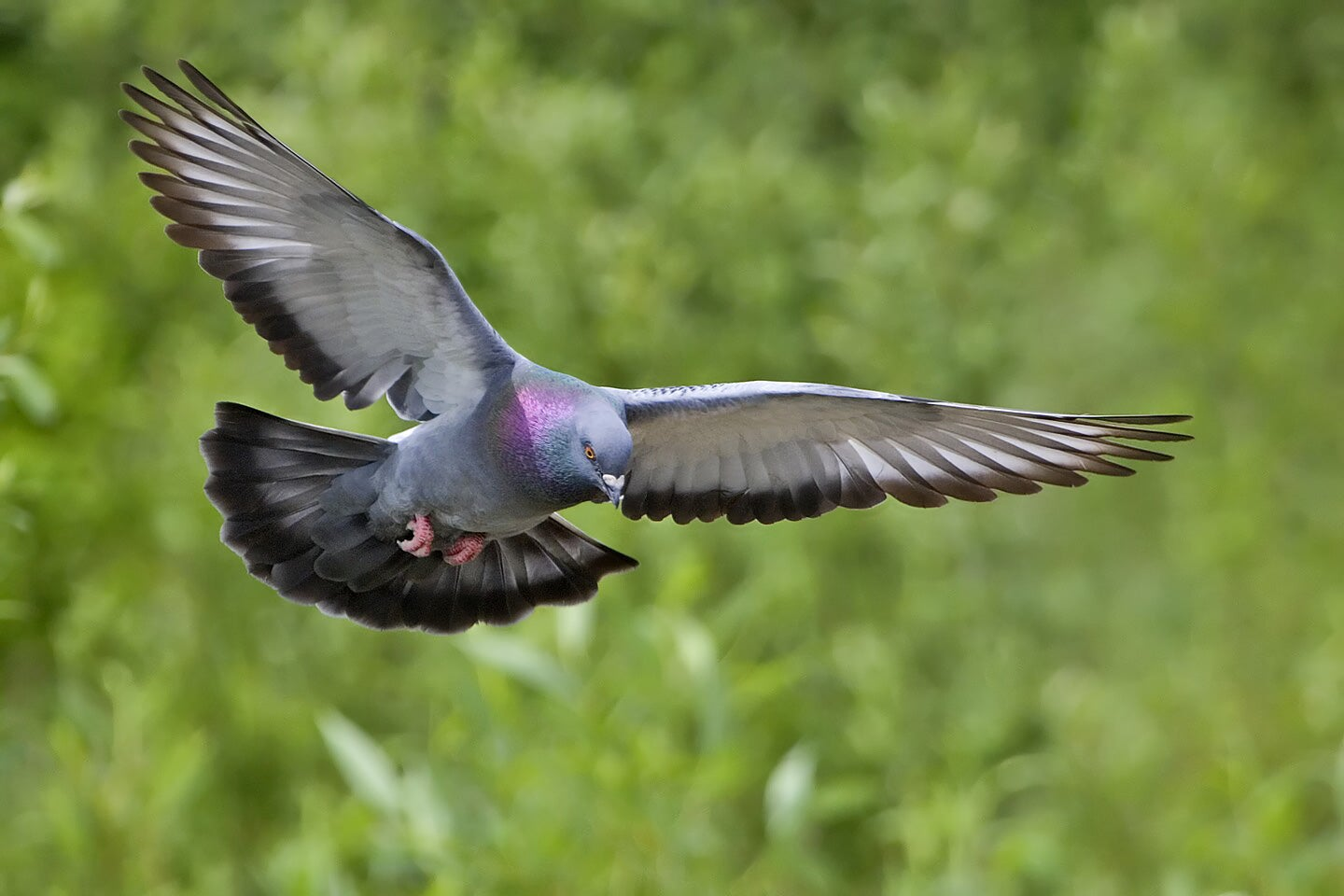 Neurons in Bird Brains Encode Earth's Magnetic Field, Giving Pigeons Reliable Internal GPS