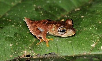 Rainforest Expedition Turns Up 46 New Creatures, Including This Cowboy Frog