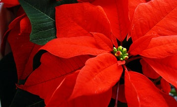 Medical Myths Revealed, in Time for the Holiday Season
