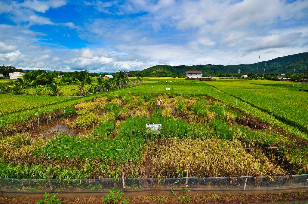 Farmers Rip Up Experimental Golden Rice Plants In The Philippines