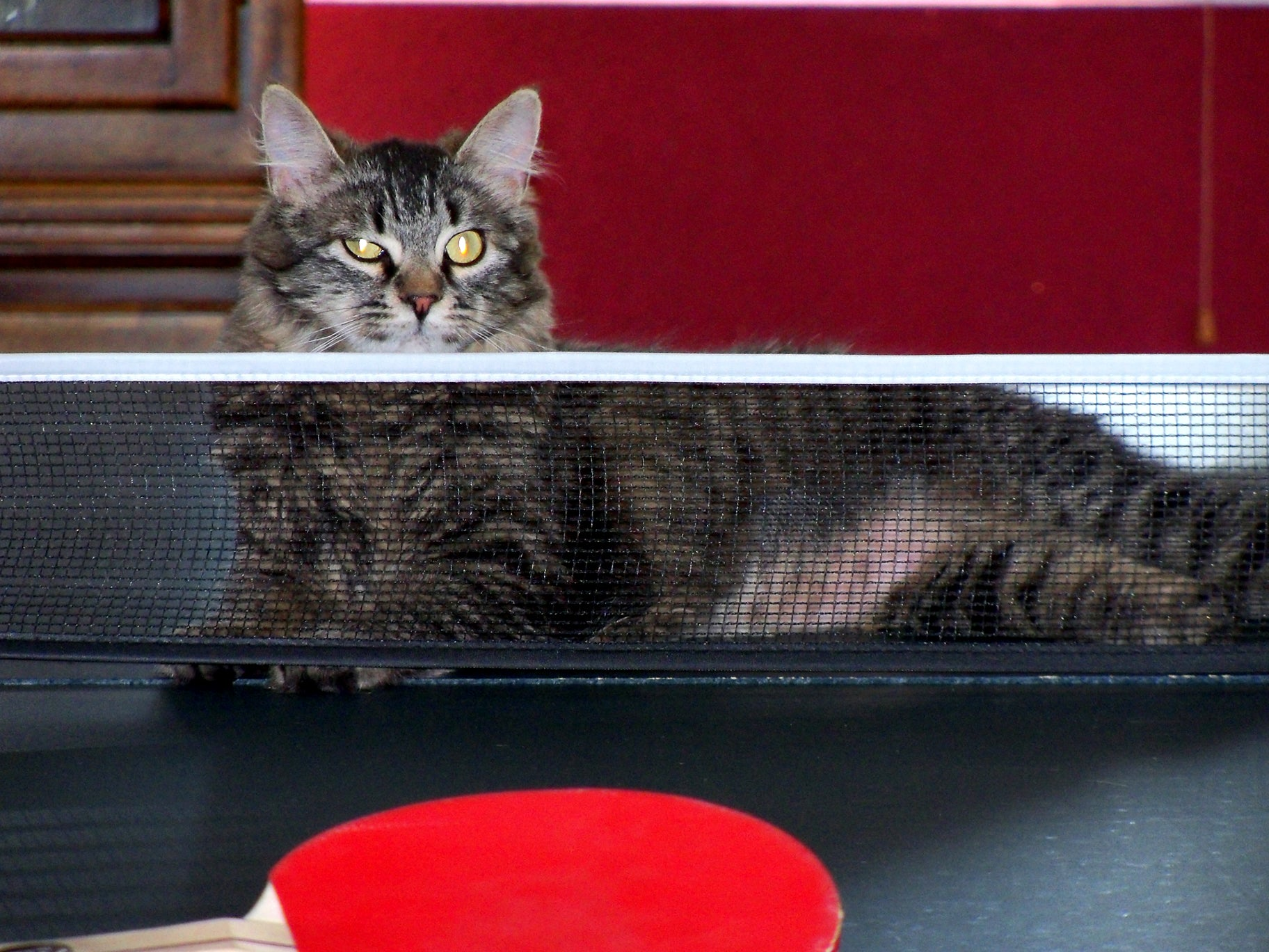 New Study Finds Cats Have The Surface Area Of A Ping Pong Table