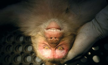 Too Much Monkey Business Leads to Monkey Vasectomies