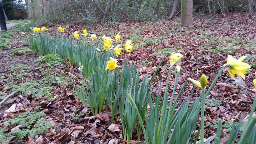 Daffodils bloom in Laughborough, England on December 30