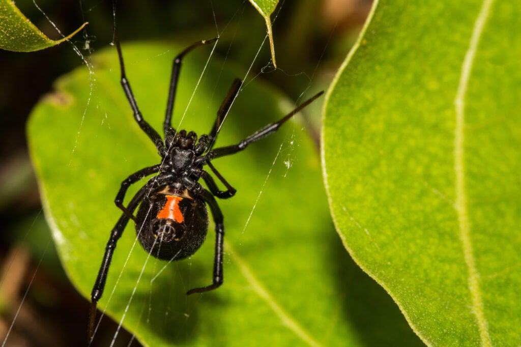 A black widow hangs from three threads.