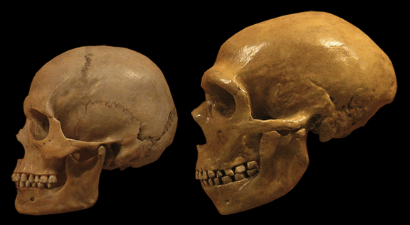 Neandertal vs human skulls