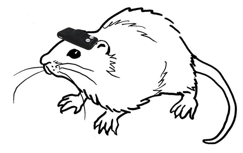 Brain-Implanted Compasses Let Blind Rats Navigate A Maze