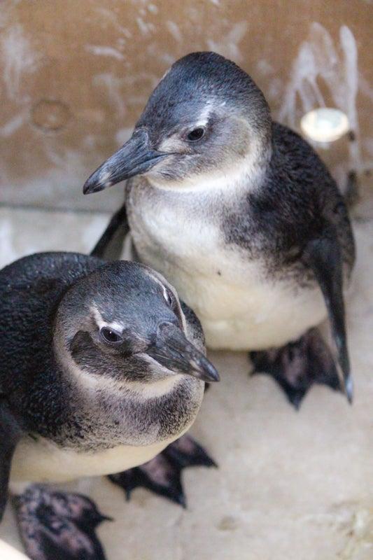 juvenile penguins