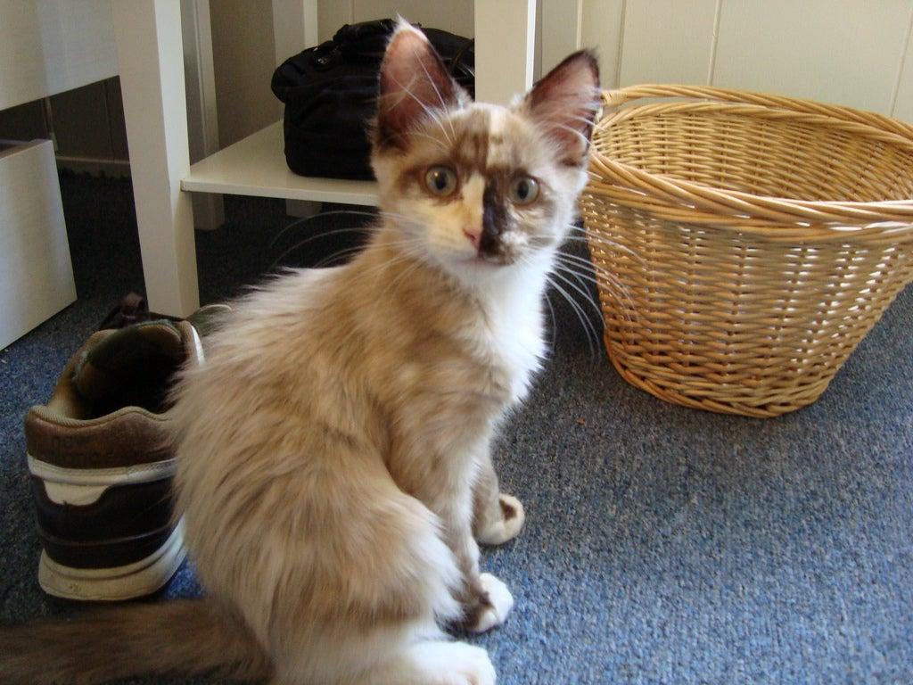 chimeric kitten