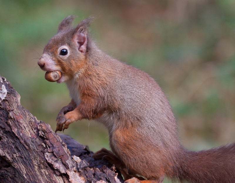 A Medieval strain of leprosy is infecting squirrels in the UK