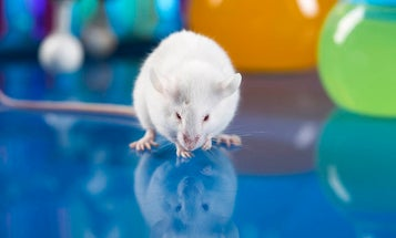 An extra dose of this longevity hormone helped make mice smarter