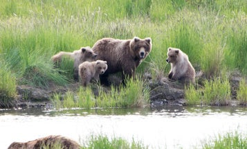 Brown Bear Moms Use 'Human Shields' To Protect Their Cubs