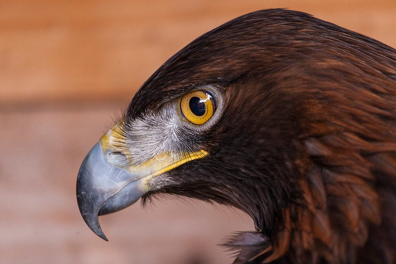 Where To Place Wind Turbines Without Killing Eagles