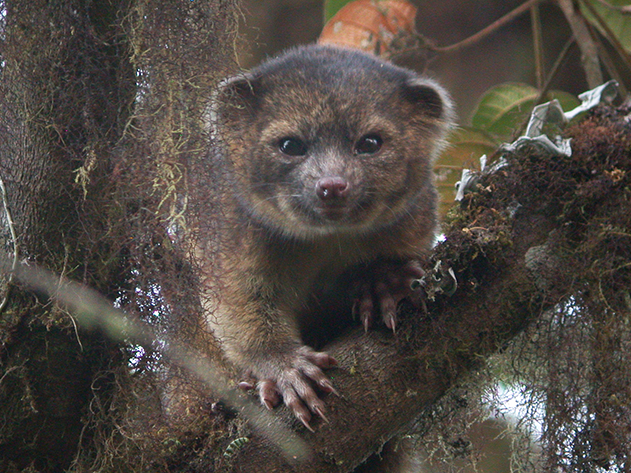 New Awesome Mammal In The Raccoon Family Found In South America